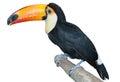 Playful toucan