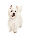 Playful West Highland Terrier Dog Standing Royalty Free Stock Photo