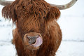 A playful yak in montana gives snarky expression to camera the winter snow of Royalty Free Stock Photography