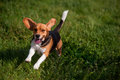 Playful young Beagle running in grass Royalty Free Stock Photo