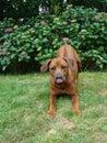 Playfull dog is stucking hos tongue Stock Image