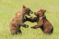 Playing cubs two first year alaskan coastal brown bear in grassy meadow Royalty Free Stock Photography