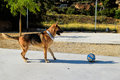 Playing dog shepherd with the ball Royalty Free Stock Photo