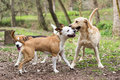 Playing dogs Royalty Free Stock Photo