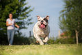 Playing with english bulldog Royalty Free Stock Photo