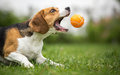Playing fetch with agile dog Royalty Free Stock Photo
