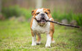 Playing fetch with stick english bulldog Stock Images
