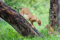 Playing lion cubs Stock Images