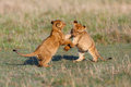 Playing Lion cubs Royalty Free Stock Photo