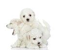 Playing puppies of a lap dog isolated on white background Royalty Free Stock Image