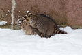 Playing raccoons two procyon lotor play on the snow Stock Photo