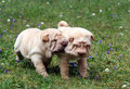 Playing sharpei puppies Stock Photo
