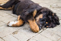 Playing the Tibetan Mastiff puppy. Royalty Free Stock Photo