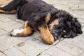 Playing the Tibetan Mastiff puppy. Royalty Free Stock Photo
