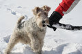 Plays owner fox terrier snow Stock Photography