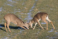 Playtime in winter two young bucks playing by sparring with antlers Royalty Free Stock Images
