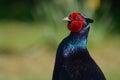 Pleasant pheasant Royalty Free Stock Photo