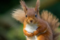Please sir can I have some more nuts Royalty Free Stock Photo
