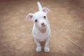 Please a white chihuahua puppy looking like he s asking Stock Photos