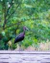 The Plegadis falcinellus bird on the fence.