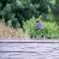 The Plegadis falcinellus bird. (Threskiornithidae). Royalty Free Stock Photo