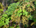 Plentiful blossoming of red currant ribes rubrum l Royalty Free Stock Image