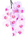 Plentiful flowering of an pink orchid isolated on white background Royalty Free Stock Photos