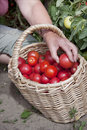 Plentiful fructification of tomatoes Stock Photography