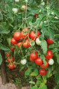 Plentiful fructification of tomatoes august on plantation an open ground Royalty Free Stock Photos