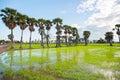 Plentiful green rice field in phetchaburi thailand Stock Photo