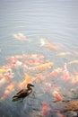 Plenty of carp fish in the garden Stock Photos
