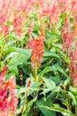Plenty of Cockscomb flower Stock Photo