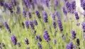 Plenty of Lavender Royalty Free Stock Photo