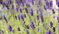 Plenty of lavender side by side Royalty Free Stock Photo