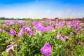 Plenty of Petunia flower (Petunia Hybrida) Stock Photography