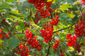 Plenty of ripe Redcurrant berries Stock Image