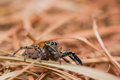 Plexippus Petersi spider Royalty Free Stock Photo