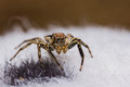 Plexippus Petersi spider Stock Photography