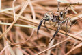 Plexippus Petersi spider Royalty Free Stock Photos