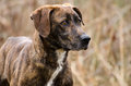Plott Hound mixed breed dog Royalty Free Stock Photo