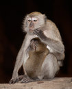 Plotting monkey monkeys in batu cave malaysia Royalty Free Stock Images