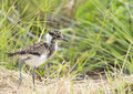 Plover chick on dry grass a fluffy young blacksmith walking veld with greener background Stock Photos