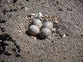 Plover nest Stock Photography