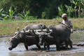 Plowing with buffalo farmers in central java indonesia boyolali his field the use of Royalty Free Stock Photography