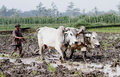Plowing with cattle farmers use to plow rice fields in boyolali central java indonesia Stock Photo