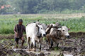 Plowing with cattle farmers use to plow rice fields in boyolali central java indonesia Stock Image