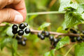 Pluck Blackcurrant fruit on the bush. Harvest of ripe fluffy blackcurrant. Black fruits on a green background.