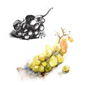 Plucked grapes, grape watercolor and ink sketch realism