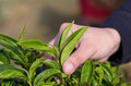 Plucking tea leaf by hand field Royalty Free Stock Photography