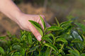 Plucking tea leaf by hand for field and garden Stock Photo